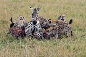 3-legged-zebra