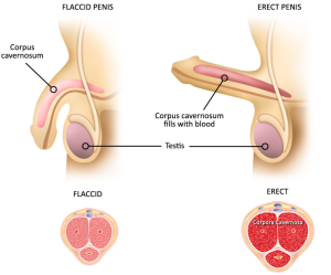 penis-with-erection-diagram